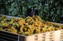 Chardonnay sklizeň hroznů