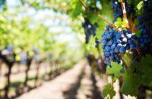 Hrozen na vinici