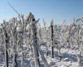 Ledové víno letos bohužel u ledu