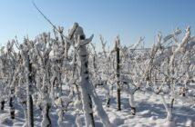 Ledové víno - vinohrad