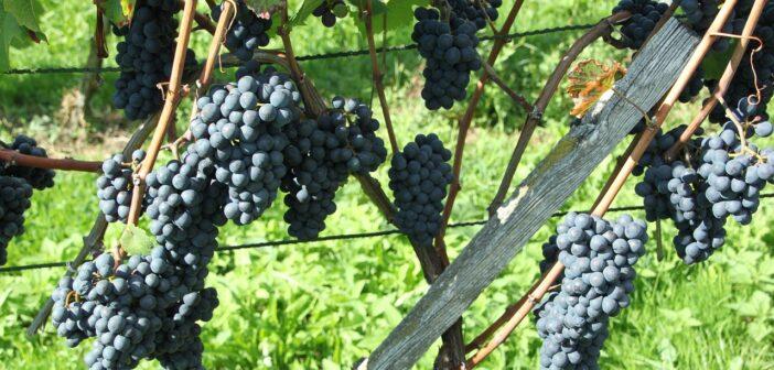 Rulandské modré (Pinot noir) – archivní zlato
