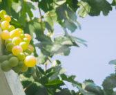Rulandské bílé (Pinot blanc)